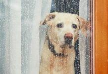 Un cane triste guarda fuori dalla finestra mentre piove (foto di repertorio Shutterstock.com)