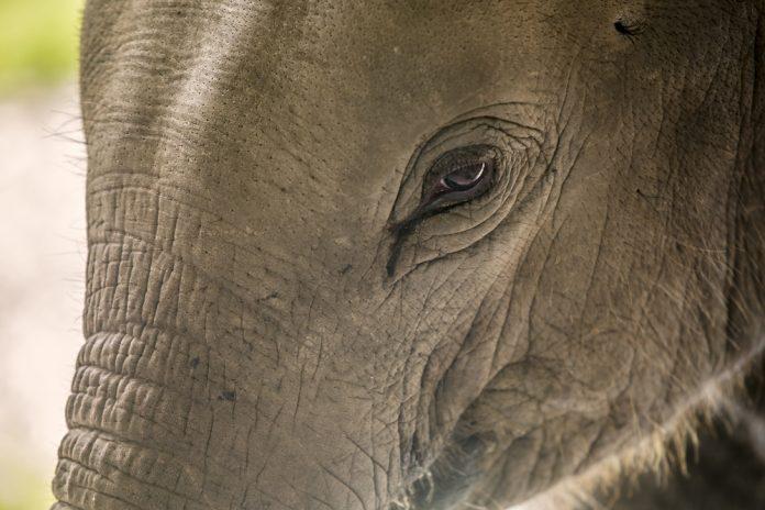 Elefante (foto di repertorio Shutterstock.com)