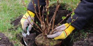 Piantumazione di un arbusto (foto di repertorio Shutterstock.com)