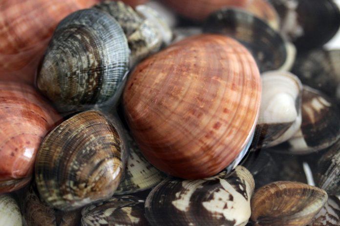 Vongole veraci (foto di repertorio Shutterstock.com)